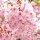 三月二十日曇り 河津桜6