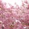 三月二十日曇り 河津桜7