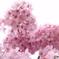 三月二十日曇り 河津桜8