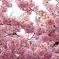 三月二十日曇り 河津桜9