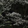 雨降る初桜