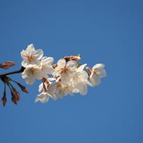 大師公園の桜