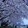 満開の桜ー浅川土手