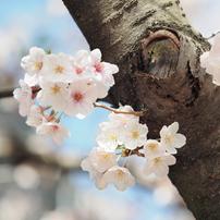 仙台堀川周辺の桜