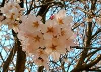 桜ハート♡