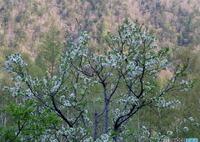 小梨の花 2006