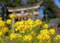 鎮守の菜の花