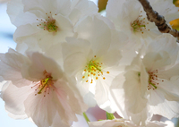 八重桜に寄ってみた