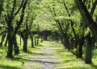 「4/18 散歩フォト: 桜の森」 (digital)