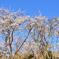 足立公園2021 3月 桜の背比べ