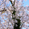 足立公園2021 3月 桜の古木