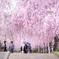 日中線しだれ桜並木2