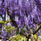 wisteria blue