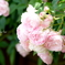 横浜 Rose Week-253