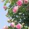 横浜 Rose Week-264