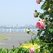 横浜 Rose Week-267