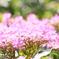 陽射しを浴びる紫陽花