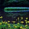 平池の初夏の水辺 1