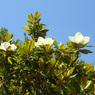 純白~!!   タイサンボク(泰山木)の花
