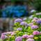 丹州観音寺の紫陽花②
