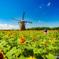 風車と向日葵