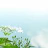 名残り紫陽花