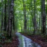 小雨のぶな林 [横位置]