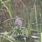 泉の森のホシゴイ