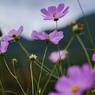 凛:里山の秋桜