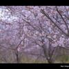 桜 - 2011 -