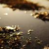 雑草魂は黄金色に輝く
