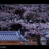 お寺 x 桜   - 2011 -