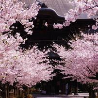 2011節目の鎌倉桜情景