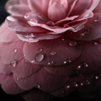 Drops on the flower