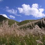 高原のススキ