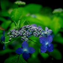 紫陽花だより
