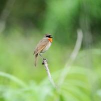 北海道 夏の鳥撮り旅