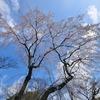 京都・平野神社 桜~2009