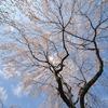 平野神社一番の桜?-2