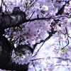 太い幹から小さな花びら