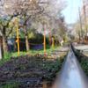 嵐電の桜のトンネルも遅かった・・・