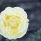 黄色い薔薇2