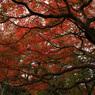円山公園紅葉