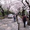 青山霊園 桜のトンネル