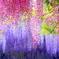 パステルシャワー (フジの花)