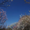 梅のアーチ