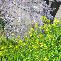 見沼代用水の桜風景