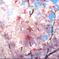 桜、魚眼で接写02