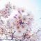 桜、魚眼で接写01