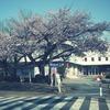 Sakura-walking
